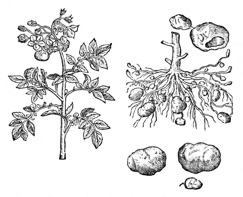 patate litografia botanica